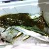 釣った魚でカマボコ作り!