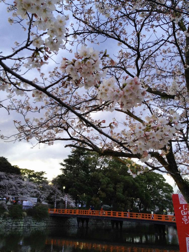 桜満開の小田原城
